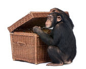Young Chimpanzee looking into a chest — Stock Photo