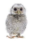 Baby Little Owl - Athene noctua (4 weeks old) — Stock Photo