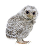 Side view of a owlet - Athene noctua (4 weeks old) — Stock Photo