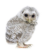 Owlet- Athene noctua (4 weeks old) — Stock Photo