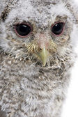 Close-up of Baby Little Owl, 4 weeks old, Athene noctua, in fron — Stock Photo