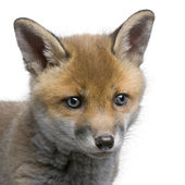 Close-up of a Red fox cub's head (6 Weeks old)- Vulpes vulpes — Stock Photo