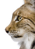 Close-up of a Eurasian Lynx's head - Lynx lynx (5 years old) — Stock Photo