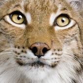 Close-up of Eurasian Lynx, lynx lynx, 5 years old, studio shot — Stock Photo