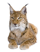 Eurasian Lynx, Lynx lynx, 5 years old, in front of a white background — Stock Photo