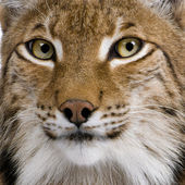 Close-up of Eurasian Lynx, Lynx lynx, 5 years old — Stock Photo