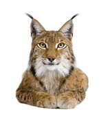 Eurasian Lynx - Lynx lynx (5 years old) — Stock Photo