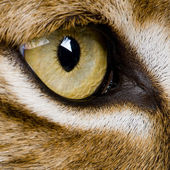Close-up on a feline' eye - Eurasian Lynx - Lynx lynx (5 years o — Stock Photo