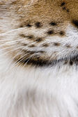 Close-up of Eurasian Lynx whiskers, Lynx lynx, 5 years old — Stock Photo
