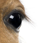 Close-up of Foal's eye, 4 weeks old, in front of white backgroun — Photo