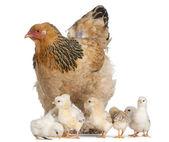 Brun brahma poule et ses poussins devant un fond blanc — Photo
