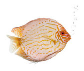 Pigeon Blood Discus fish, Symphysodon aequifasciatus, studio sho — Stock Photo
