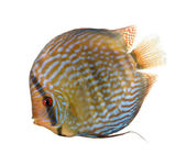 Red Turquoise Discus fish, Symphysodon aequifasciatus, studio sh — Stock Photo