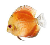 Fire Red Discus (fish) - Symphysodon aequifasciatus in front of a white background — Stock Photo