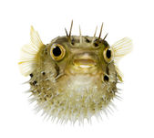 Long-spine porcupinefish also know as spiny balloonfish - Diodon — Stock Photo