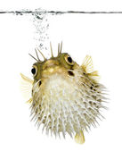 Long-spine porcupinefish (fish) swimming below the waterline — Stock Photo