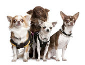 Group of 4 chihuahuas dressed-up — Stock Photo