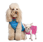 Poodle and chihuahua — Stock Photo