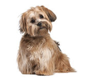 Shih Tzu puppy (8 months old) — Stock Photo