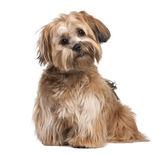 Shih Tzu puppy (8 months old) — Stock Photo