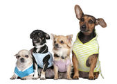 Group of 4 dogs dressed-up — Stock Photo