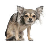 Long haired chihuahua looking at the camera (2 years old) — Stock Photo