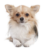 Long haired chihuahua (1 year old) — Stock Photo