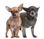 Couple of chihuahua — Stock Photo