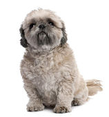 Grey Shih Tzu (6 years old) — Stock fotografie