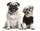 Couple of dogs : Shih Tzu dressed-up and a pug — Stock Photo