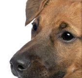 Close-up on a brown Bastard puppy (6 months old) — Stock Photo
