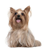 Yorkshire Terrier panting (3 years old) — Stock Photo