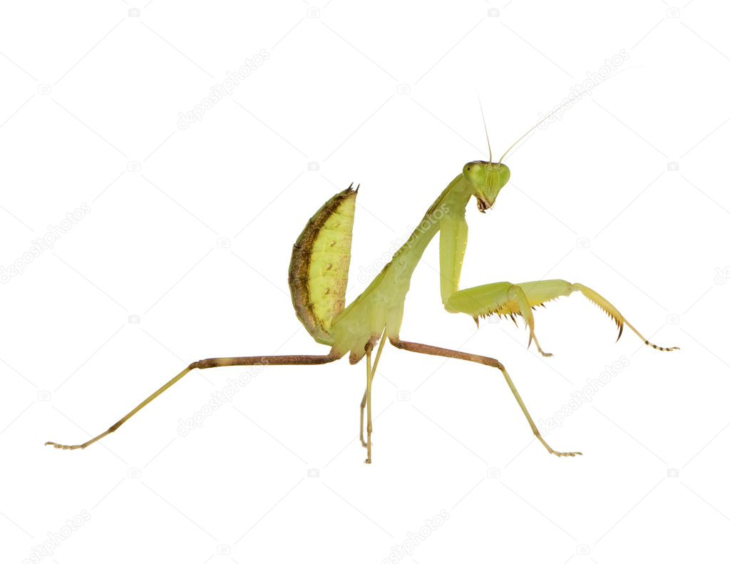 Young  praying mantis - Sphodromantis lineola in front of a white backgroung — Stock Photo #10871140