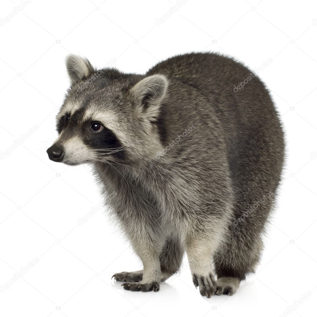 Raccoon (9 months) - Procyon lotor in front of a white background — Stock Photo #10872424