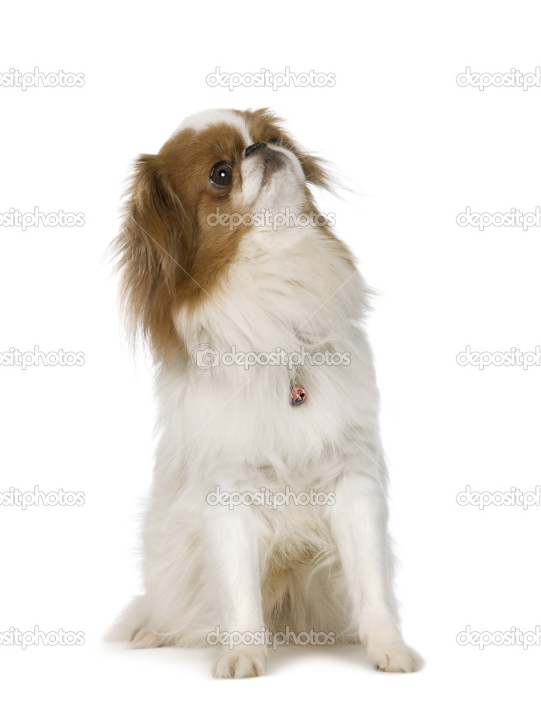 Japanese Chin Dog in front of a white background  Stock Photo #10872587