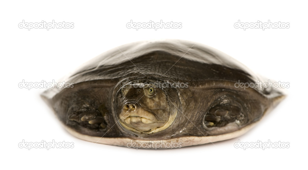 Soft-shell turtles  - Family: Trionychidae in front of a white backgroung — Stock Photo #10873470