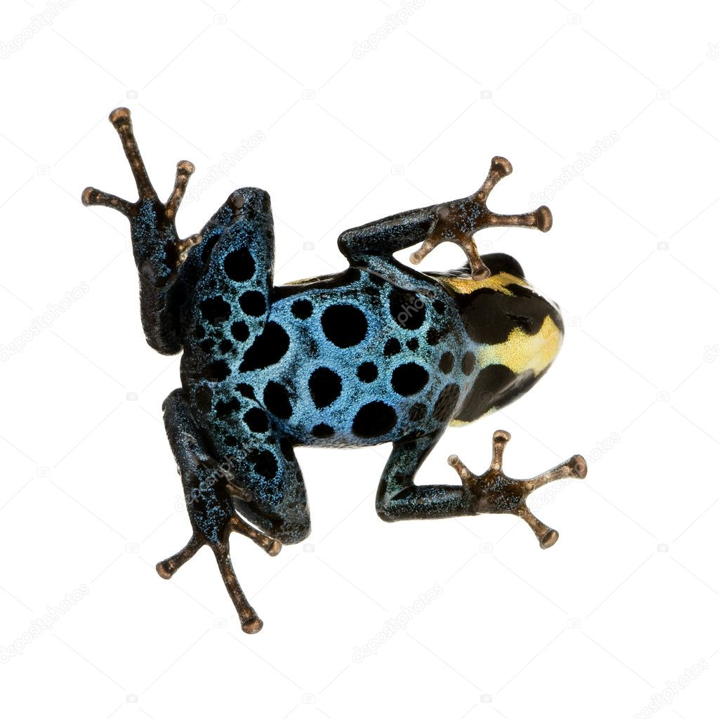 Poison Dart Frog - ranitomeya amazonica or Dendrobates amazonicus in front of a white background — Stock Photo #10874345