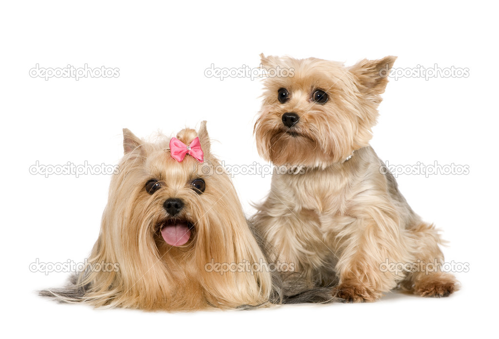 Couple of Yorkshire Terrier in front of a white background — Stock Photo #10874618