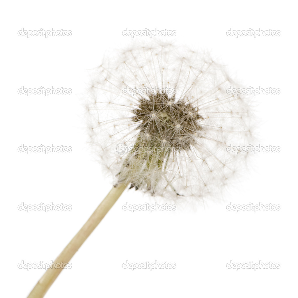 Dandelion in front of awhite background  Stock Photo #10874685