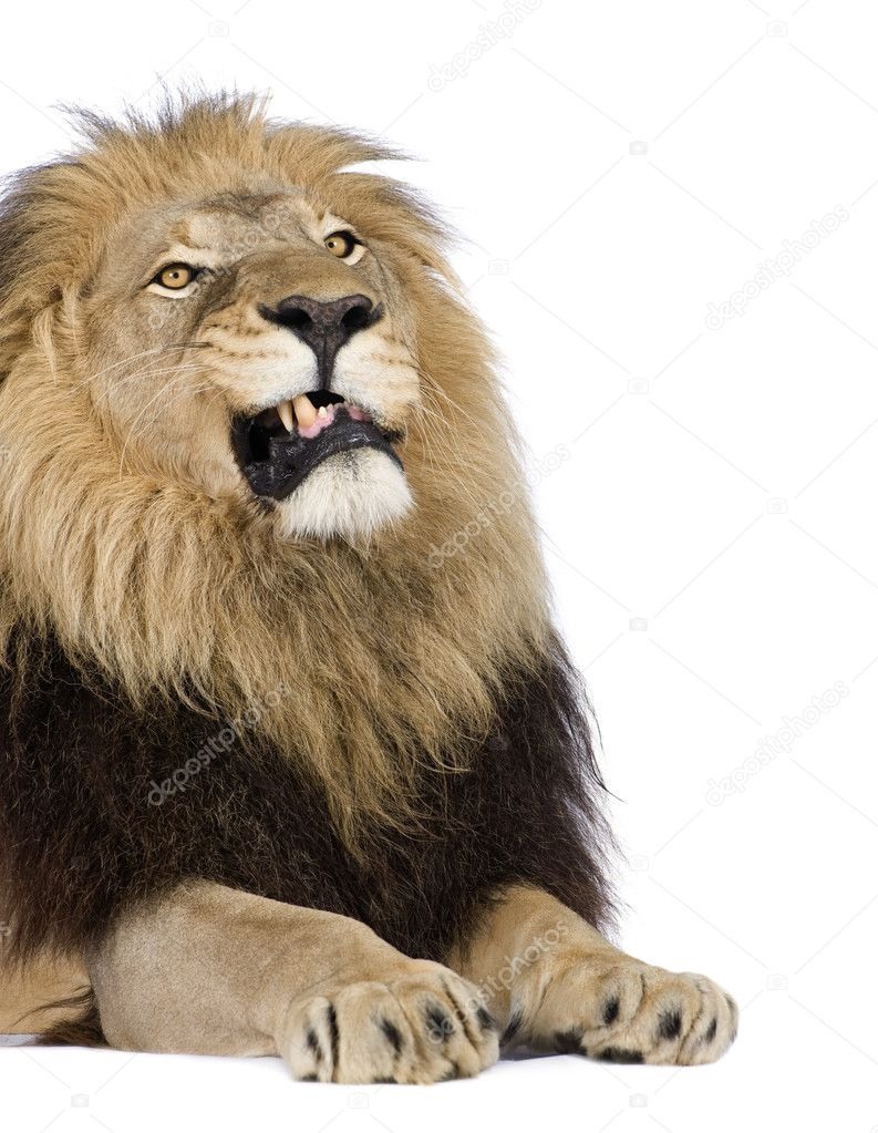 Lion (4 and a half years) - Panthera leo in front of a white background — Stock Photo #10875048