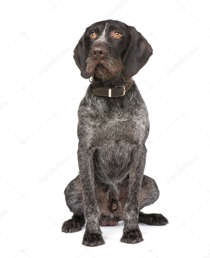 German Shorthaired Pointer (4 years) in front of a white background — Stock Photo #10875703