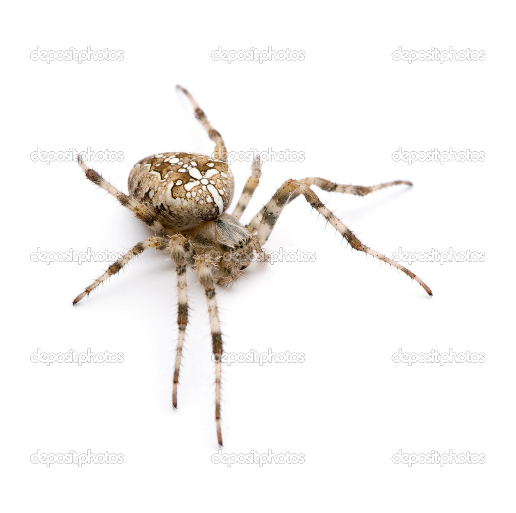Diadem spider - Araneus diadematus in front of a white background — Stock Photo #10875866