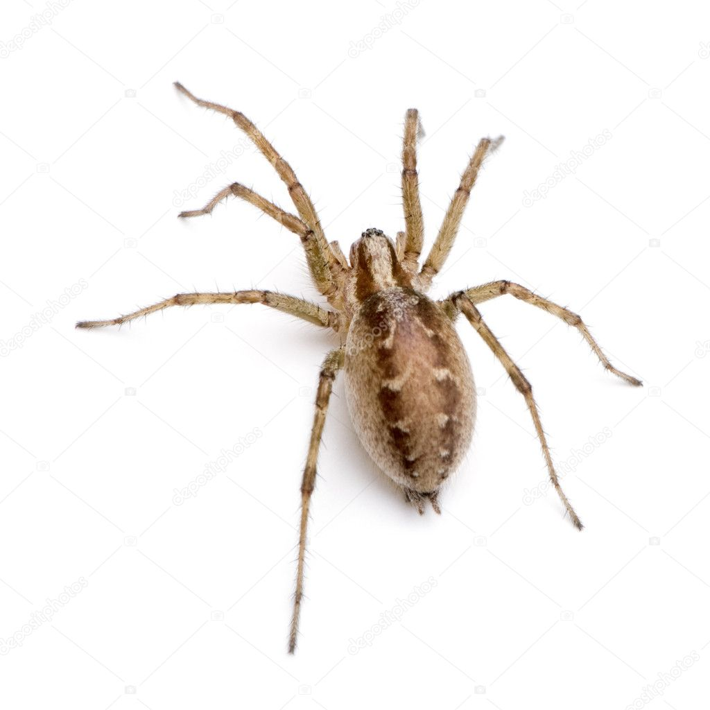 Barn funnel weaver spider- Tegenaria agrestis — Stock ...