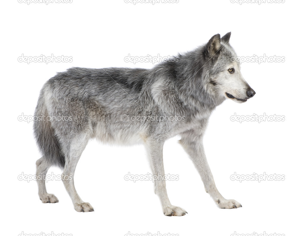 Mackenzie valley wolf - photo#46