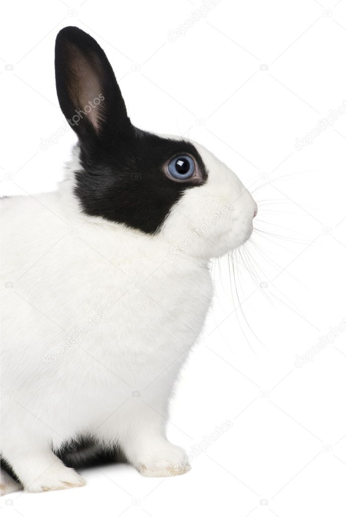 Rabbit (11 months) in front of a white background — Stock Photo #10876752