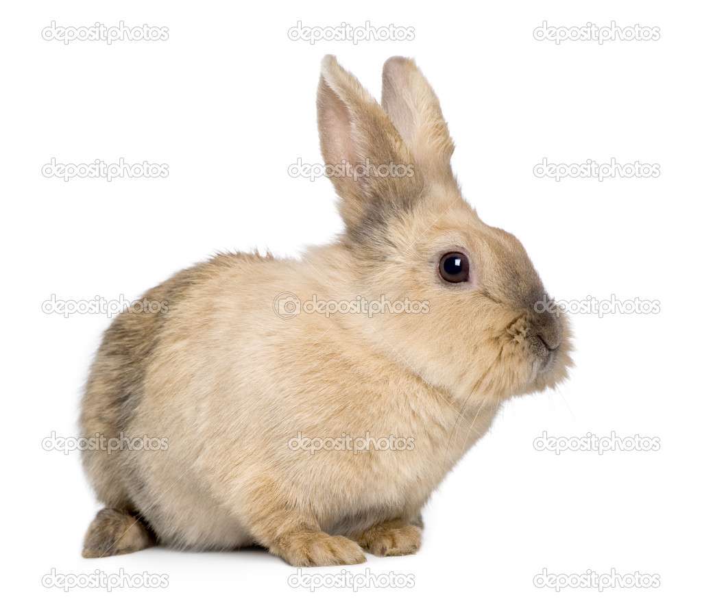 Rabbit (3 years) in front of a white background — Stock Photo #10877394