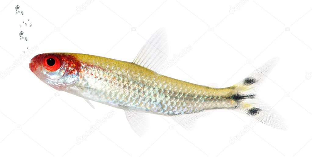 Hemigrammus bleheri fish in front of a white background — Foto de Stock   #10877453