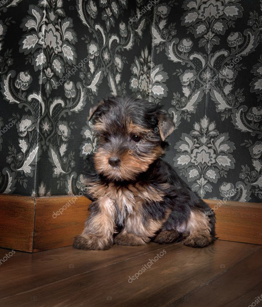 Puppuy yorkshire terrier in a retro room  Stock Photo #10878108