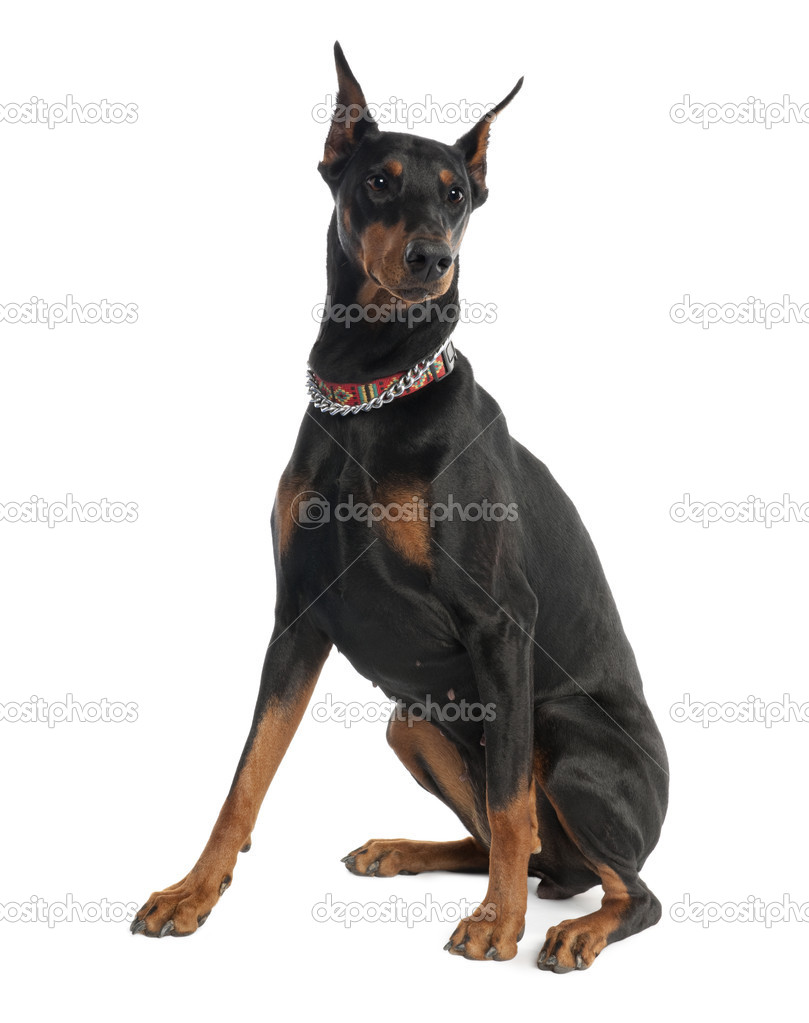 Doberman Pinscher (5 years old) in front of a white background — Stock Photo #10878877
