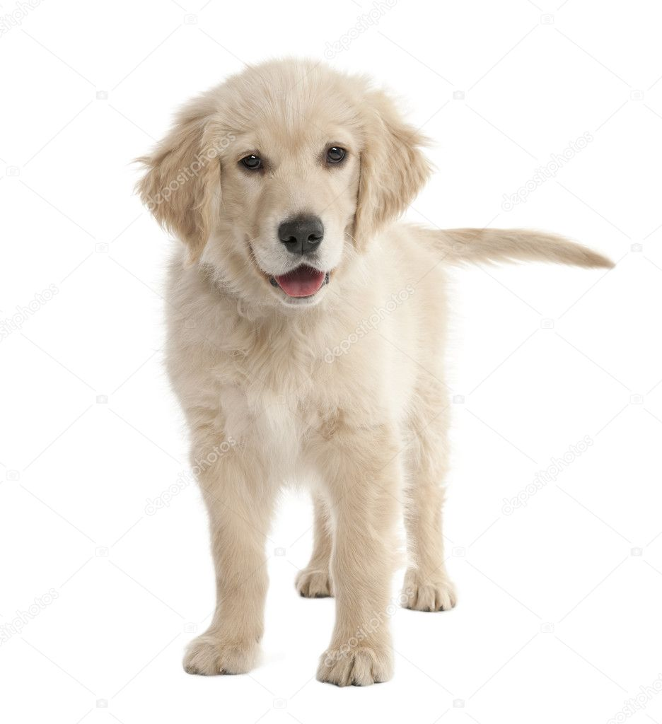 Puppy Labrador (4 months old) in front of a white background — Stock Photo #10878931